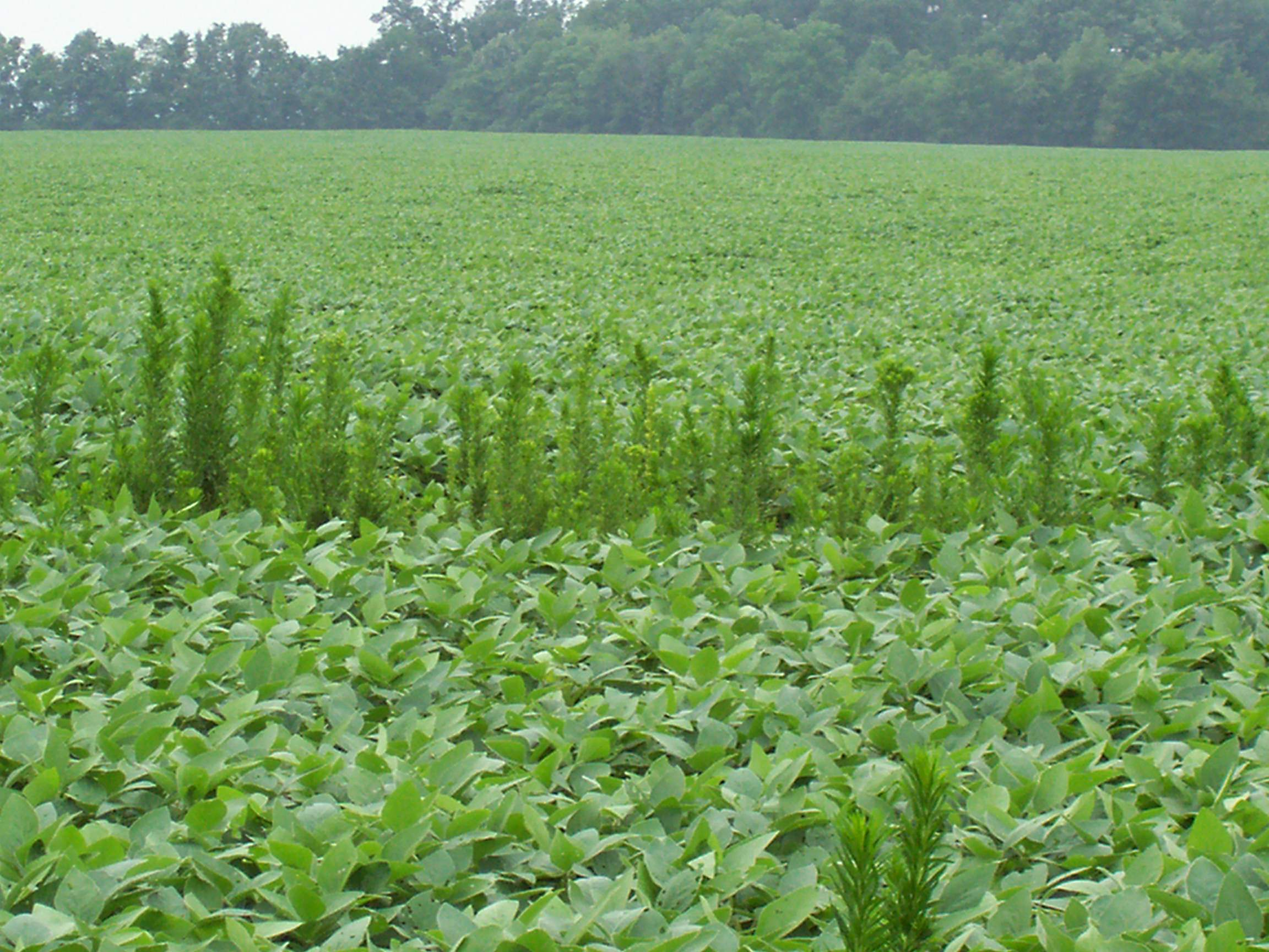 Controlling the Toughest Weed in Ohio | Agriculture in Ohio ...